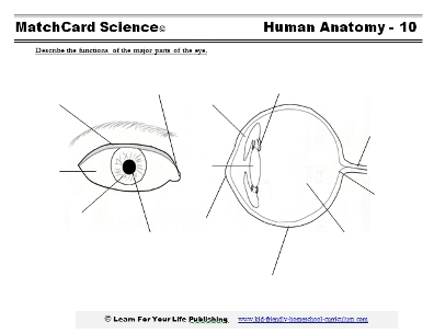 human eye worksheet