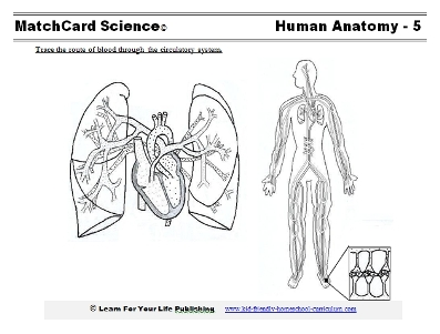 human circulation worksheet