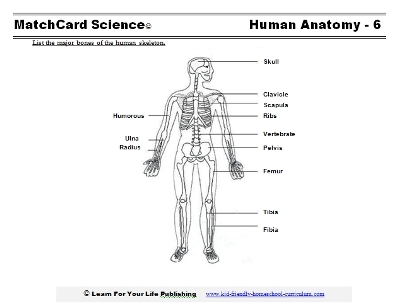 human skeleton diagram, Skeleton