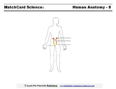 renal systemworksheet