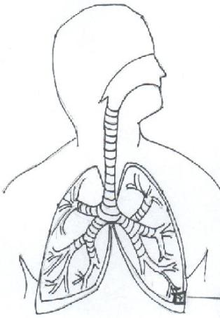 Respiratory System Diagram Labeled