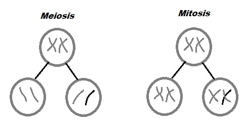What is the role of mitosis in asexual reproduction