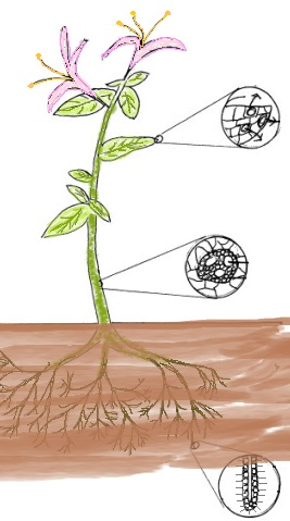 Transpiration and Translocation