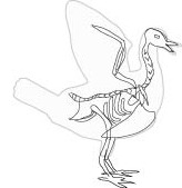 bird skeleton