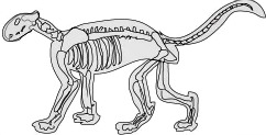 cougar skeleton