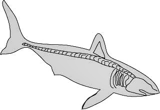 Shark Skeleton