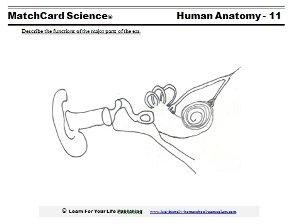 human ear worksheet