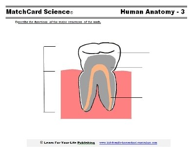 human tooth worksheet
