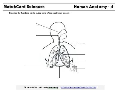 Printable diagram of respiratory anatomy diy wiring diagrams respiratory system for kids rh learn4yourlife com printable diagram of respiratory system respiratory anatomy diagram blank ccuart Choice Image